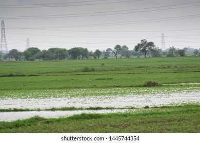 Indian Agriculture Field with a wetland and a Wild Blackbuck in the Field