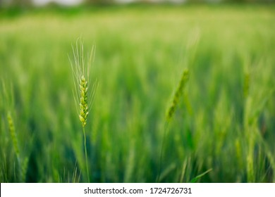 indian agriculture, wheat field india.