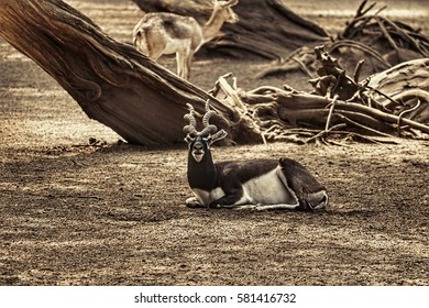 Indian antelope/Blackbuck/Blackbuck