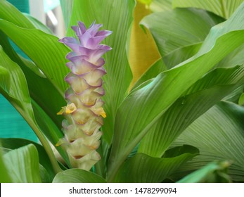 Indian arrowroot ginger flower green leaves background