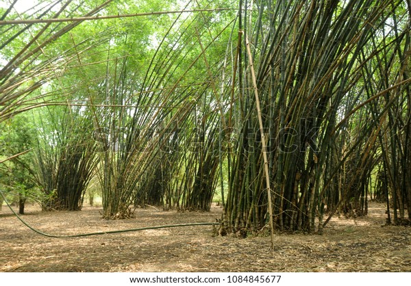 Indian bamboo forest