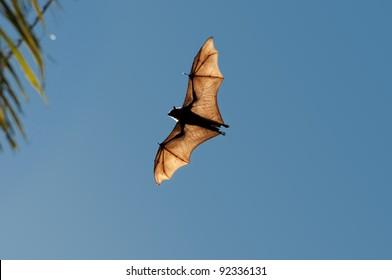 "Indian Bat ""Flying Fox"" flying over  Tissamaharama, Sri Lanka"