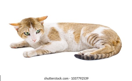 Indian Beautiful Domestic Cat Isolated on White Background