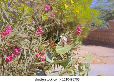 Indian birds. Bluish black bird Sunbird of Cinnyris asiaticus intermedius race with yellow bend of the wing, paradise bird in garden. India, foothills of the Ghats