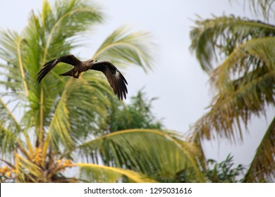 An Indian Black Kite (Milvus migrans), a medium sized bird of prey in the Accipitridae family, seen hear soaring over the Alleppey Backwaters, a wetlands area in the southern state of Kerala in India.