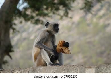indian black monkey. monkey portrait. black monkey sitting