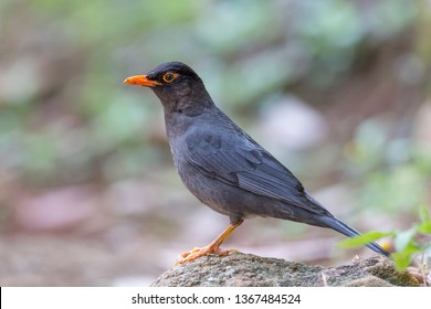 Indian blackbird (Turdus simillimus). The Indian blackbird (Turdus simillimus) is a member of the thrush family Turdidae. It was formerly considered a subspecies of the common blackbird. It is found o