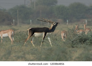 Indian Blackbuck (Antilope cervicapra), or Indian antelope. The blackbuck inhabits grassy plains and slightly forested areas. Fast animals, the blackbuck can run at as high as 80 kilometers per hours.