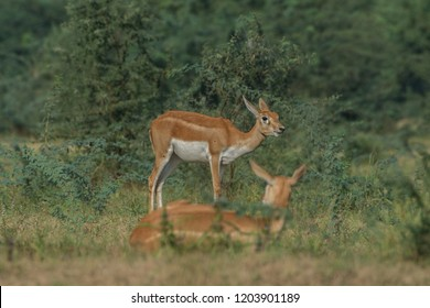 Indian Blackbuck (Antilope cervicapra) or Indian antelope. The blackbuck inhabits grassy plains and slightly forested areas. Fast animals, the blackbuck can run at as high as 80 kilometers per hours.