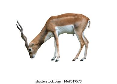 Indian blackbuck Antilope cervicapra isolated on white background. Wildlife animal.