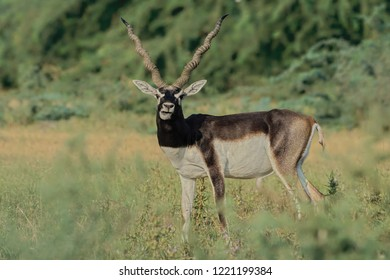 Indian Blackbuck (Antilope cervicapra) , also known as the Indian antelope. The upper parts and outsides of the legs are dark brown to black, the underparts and the insides of the legs are all white.