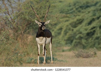 Indian Blackbuck (Antilope cervicapra). The long, ringed horns, are generally present only on males, though females may develop horns as well. Males mature later, at one-and-a-half years.