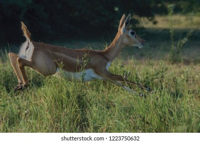 Indian Blackbuck (Antilope cervicapra). Male blackbucks are dark brown, black, and white and have long, twisted horns, while females are fawn-coloured with no horns.