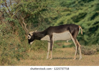 """Indian Blackbuck (Antilope cervicapra).  The white fur on the chin and around the eyes is in sharp contrast with the black stripes on the face. The horns diverge forming a """"V""""-like shape."""