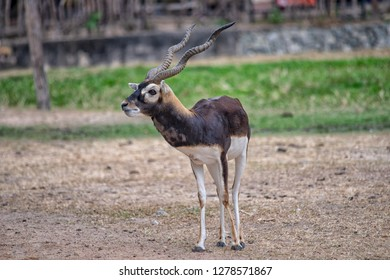 Indian blackbuck, also known as the Indian antelope