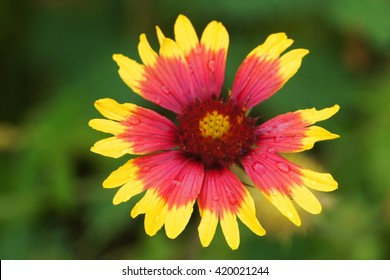 Indian Blanket Flower with Raindrops