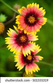 Indian Blanket Flowers in Houston, Texas