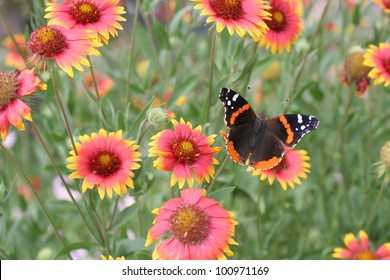 Indian Blankets and a Butterfly in the Spring