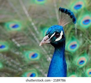 Indian Blue Peacock - Pavo Cristatus