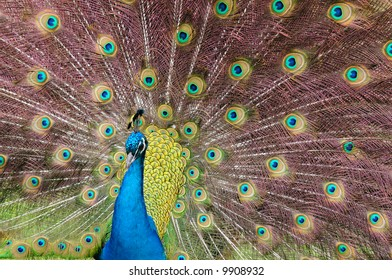 Indian Blue Peacock (Pavo cristatus)