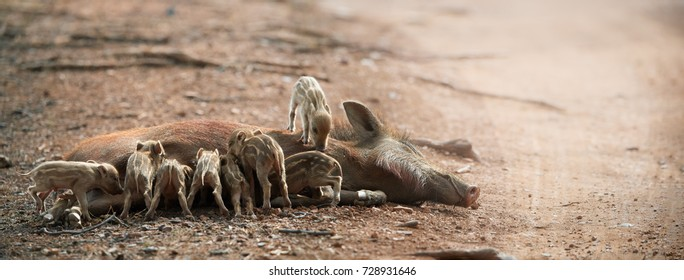 Indian boar, Sus scrofa cristatus, sow lying on the ground,feeding group of small piglets. Dry indian forest. Panoramic wildlife photography in Ranthambore national park, India.