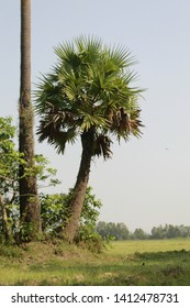 Indian Borassus flabellifer tree, commonly known as doub or palmyra palm, tala or wine palm, or ice apple in india.