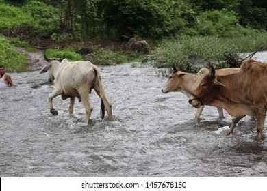 Indian Breed Cows, Indigenous cow, Gau Mata