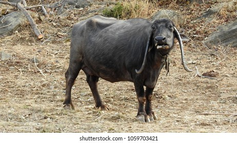 Indian Buffalo at Kumbhalgarh, Rajasthan State, India