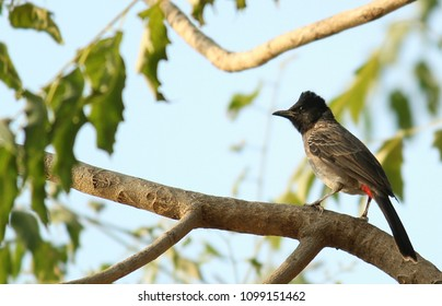 Indian Bulbul Bird Hd Stock Image Stock Photo Edit Now 1099151462