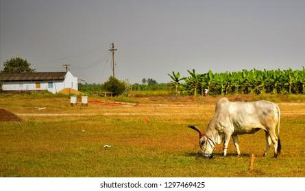 indian bull in field Coimbatore Tamil Nadu India