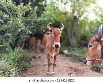 Indian bullock