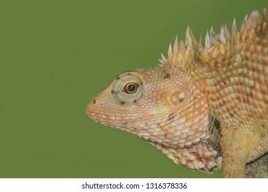 Indian chameleon, Chamaeleo zeylanicus