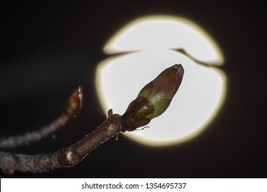 Indian chestnut sprouting during the charm of Worm Supermoon)