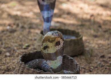 Indian cobra, Naja naja