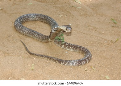 Indian Cobra Images, Stock Photos & Vectors | Shutterstock