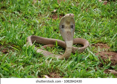indian cobra on green grass
