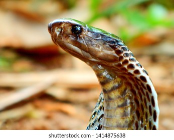 The Indian cobra. It is a venomous snake and capable of rearing upwards and producing a hood when threatened