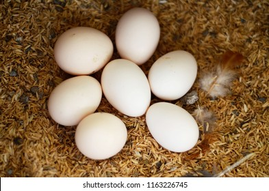 Indian cock, hen and eggs