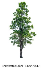 Indian cork tree (Millingtonia hortensis) isolated on white background with clipping path , tropical trees isolated used for design, advertising and architecture