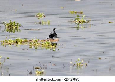 Indian Cormorant from Kerala backwater