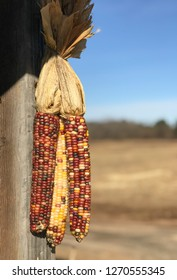 Indian corn on the cob
