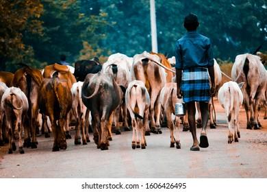 The Indian cow boy. Photo taken in Andhra Pradesh, India