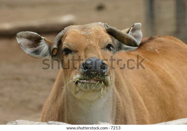 indian cow eating