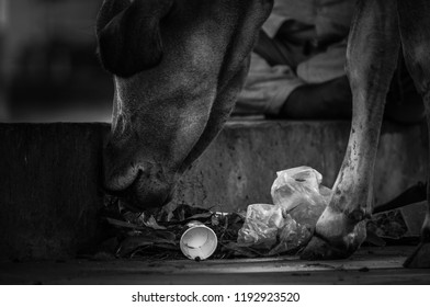 indian cow eating trash