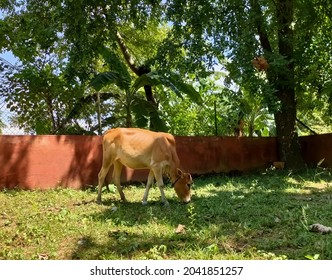 Indian cow grazing on green grassy field against a wall on a hot sunny day