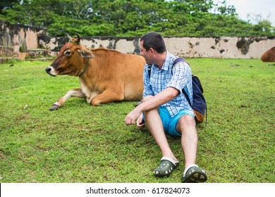 Indian cow on grass, Sri Lanka