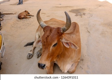 An Indian Cow on the street of Jaisalmer, Rajasthan, India