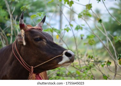 Indian cow standing in a farm milk industry organic