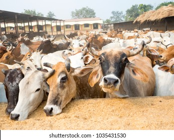 Indian Cows in Cow Farm