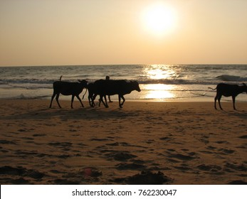 Indian cows walking along the beach at sunset